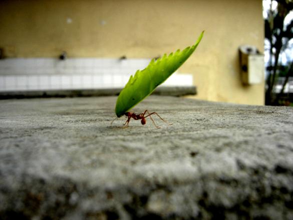 hormiga